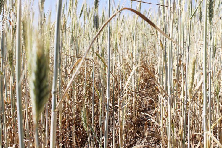 Wnioski O Szacowanie Strat W Uprawach Rolnych Z Powodu Suszy